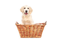 Cute little Labrador puppy sitting in a basket Royalty Free Stock Images