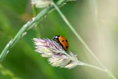 Free Cute Little Ladybug With Red Wings And Black Dotted Hunting For Plant Louses As Biological Pest Control And Natural Insecticide Royalty Free Stock Images - 187124199