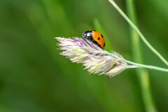 Free Cute Little Ladybug With Red Wings And Black Dotted Hunting For Plant Louses As Biological Pest Control And Natural Insecticide Royalty Free Stock Photo - 187124585