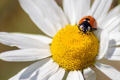 Free Cute Little Ladybug With Red Wings And Black Dotted Hunting For Plant Louses As Biological Pest Control And Natural Insecticide Royalty Free Stock Photography - 187779587
