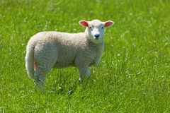 Cute little lamb. Image of a lamb grazing in the fields of New Zealand stock photo