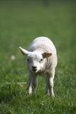 Cute little lamb Royalty Free Stock Images