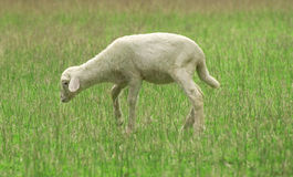 Cute little lamb. S on fresh green meadow stock photography