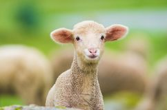 Cute little lamb. Looking at camera in a meadow stock photo