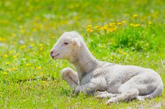Cute little lamb. Resting in a meadow stock image