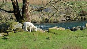 Cute little lamb dwelling close to the river.  stock video footage
