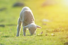 Cute little lamb eating on meadow. Cute little lamb eating on green meadow in summer time stock images