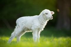 Cute little lamb on fresh green meadow. Cute little lamb on fresh spring green meadow during sunrise stock photography