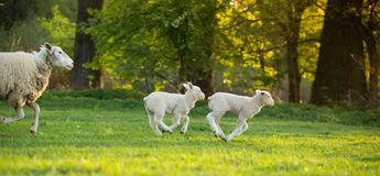 Cute little lamb on fresh green meadow Stock Images