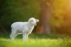 Cute little lamb on fresh green meadow Royalty Free Stock Images