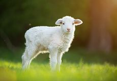 Cute little lamb on fresh green meadow Royalty Free Stock Photography