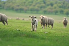 Cute little lamb on fresh spring green meadow during sunrise.  stock image