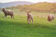 Cute little lamb on fresh spring green meadow during sunrise.  stock photo