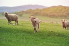 Cute little lamb on fresh spring green meadow during sunrise.  royalty free stock images