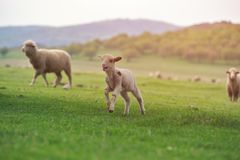Cute little lamb on fresh spring green meadow during sunrise.  stock photography