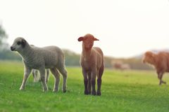 Cute little lamb on fresh spring green meadow during sunrise.  stock images