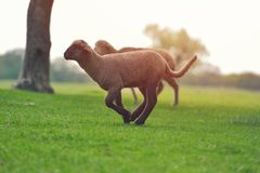 Cute little lamb on fresh spring green meadow during sunrise.  royalty free stock photos