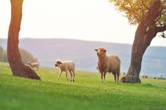 Cute little lamb on fresh spring green meadow during sunrise.  royalty free stock photography