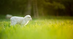 Cute little lamb on fresh green meadow royalty free stock image