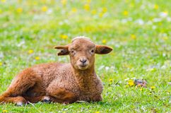 Cute little lamb looking at camera. In a meadow stock images