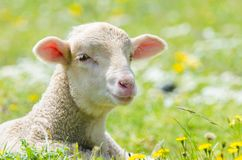 Cute little lamb. Looking at camera in a meadow royalty free stock photos