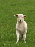 Cute little lamb looking at you Stock Photos