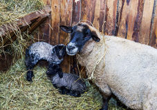 Cute little lamb with mother sheep Royalty Free Stock Photography