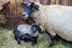 Cute little lamb with mother sheep Royalty Free Stock Image