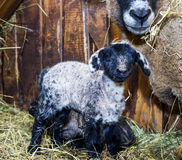 Cute little lamb with mother sheep Royalty Free Stock Photo