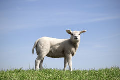 Cute little lamb standing alone in the field. Young lamb standing in the grass royalty free stock image