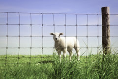 Cute little lamb standing on the field behind fence royalty free stock photos