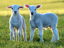 Cute little lambs Stock Image