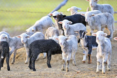 Cute little lambs. In spring time royalty free stock photo