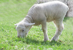 Cute little lambs Stock Photos