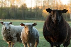 Cute little lambs and black sheep on fresh green meadow. During sunrise royalty free stock images