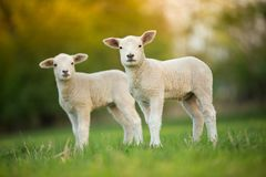 Cute little lambs on fresh green meadow royalty free stock photos