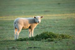 Cute little lambs on fresh green meadow. During sunrise stock photo
