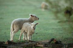 Cute little lambs on fresh green meadow. During sunrise royalty free stock image