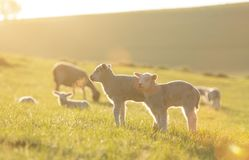 Cute little lambs on fresh green meadow. During sunrise royalty free stock photos