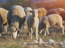 Cute little lambs on fresh spring green meadow during sunset.  royalty free stock photo