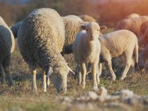 Cute little lambs on fresh spring green meadow during sunset.  royalty free stock photography
