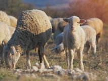 Cute little lambs on fresh spring green meadow during sunset.  stock images