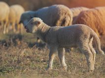 Cute little lambs on fresh spring green meadow during sunset.  royalty free stock image