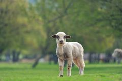 Cute little lambs on fresh spring green meadow during sunset.  royalty free stock images