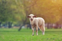 Cute little lambs on fresh spring green meadow during sunset.  stock photo