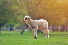 Cute little lambs on fresh spring green meadow during sunset.  royalty free stock photos