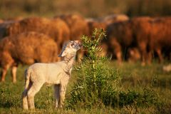 Cute little lambs grazing the bushes with cows in the background royalty free stock images