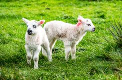 Cute little lambs grazing in a field in Ireland.  royalty free stock photography