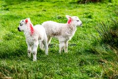 Cute little lambs grazing in a field in Ireland.  royalty free stock images