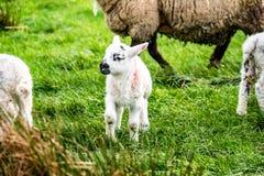 Cute little lambs grazing in a field in Ireland.  stock photo